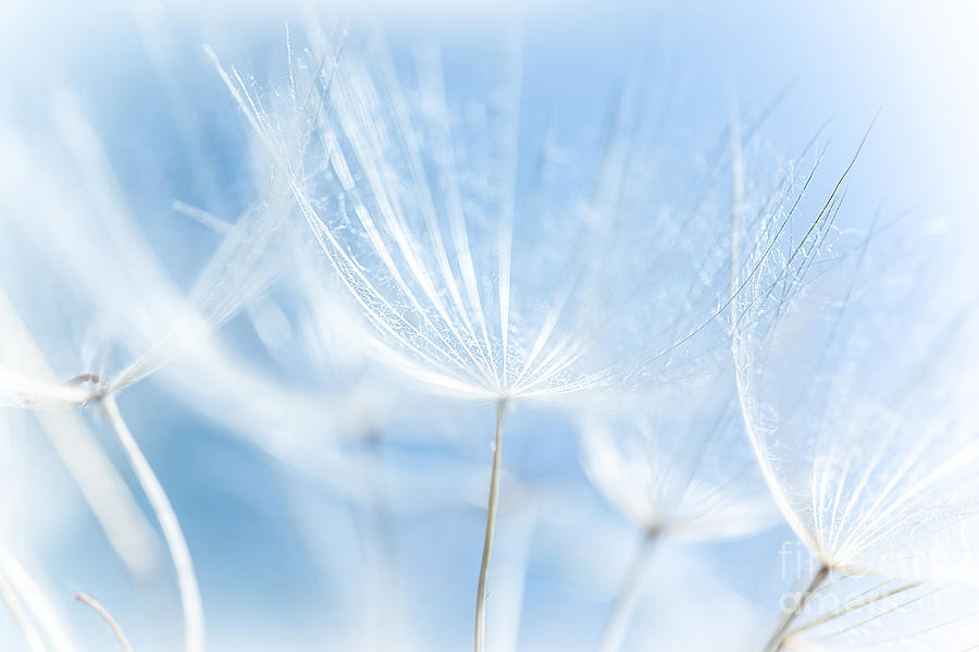 Abstract Photograph - Abstract Dandelion Background by Anna Om