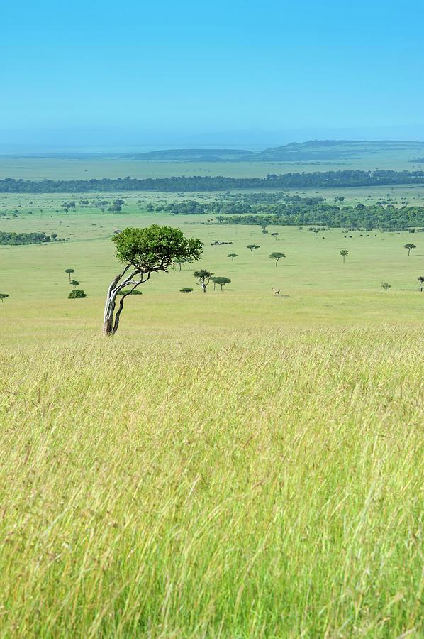 Acacia In The Green Plains Of Masai Mara Photograph by Guenterguni