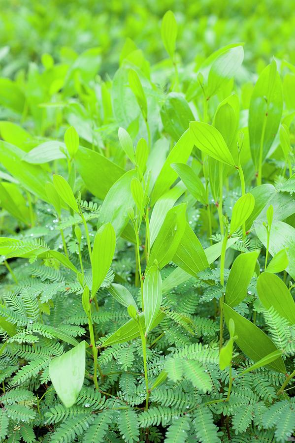 Borneo Photograph - Acacia Seedlings by Scubazoo/science Photo Library