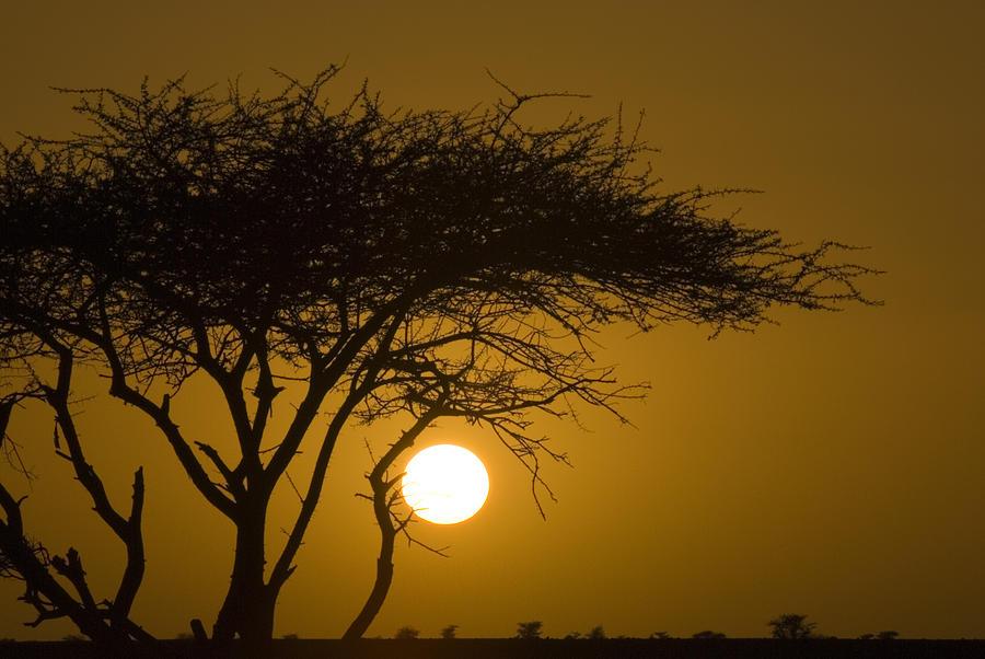 Acacia Photograph - Acacia Tree In Desert At Sunset by Jake Norton
