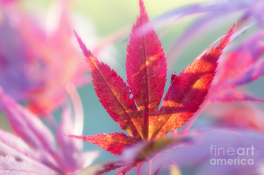 Nature Photograph - Acer Beautiful Fall by Tanja Riedel