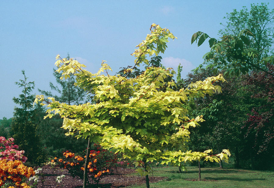 Acer Campestre Postelense Photograph By Science Photo Library