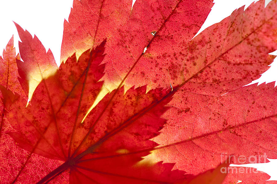 Abstract Photograph - Acer From Beneath by Anne Gilbert