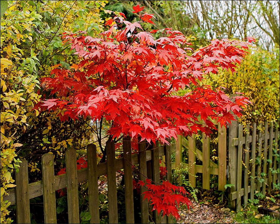 Acer Photograph - Acer  by Liz  Alderdice