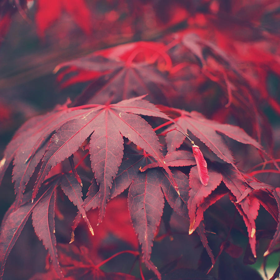 Acer Photograph - Acer by Patrick Horgan