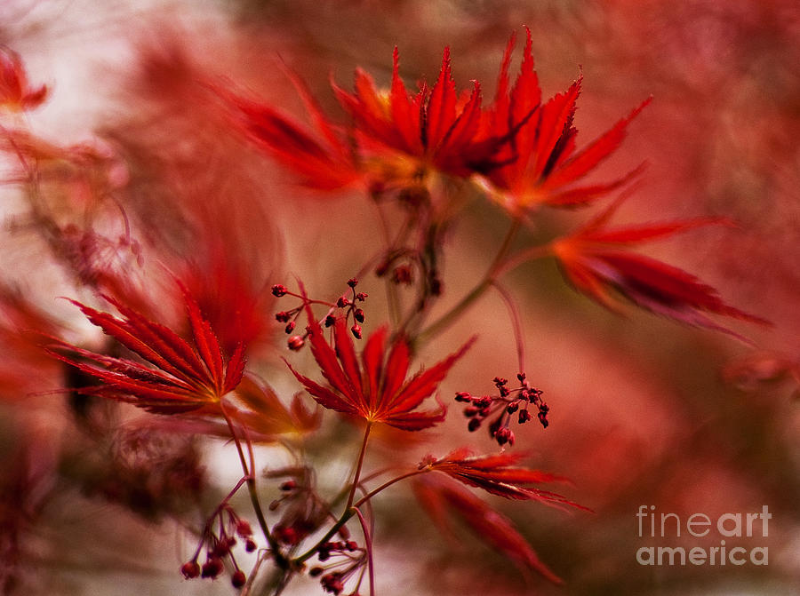 Acer Photograph - Acer Storm by Mike Reid