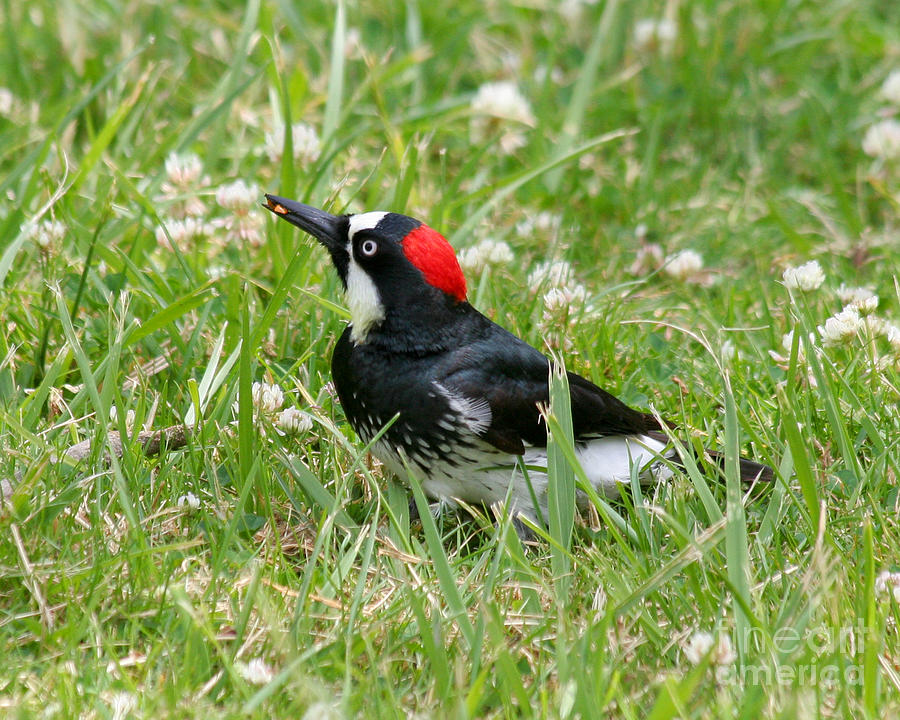 Acorn Woodpecker Photograph - Acorn Woodpecker Foraging by Bob and Jan Shriner