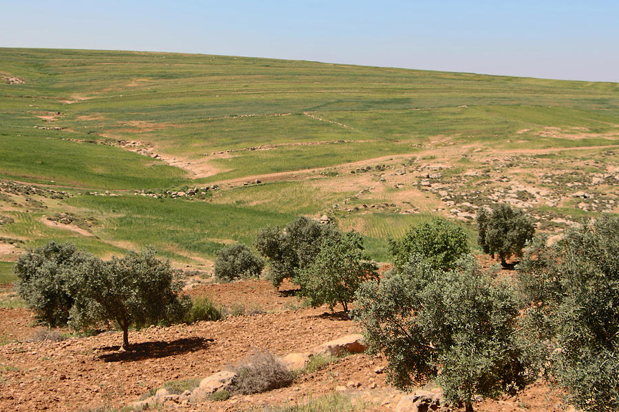 Ad Dhahiriya Olive Trees Photograph