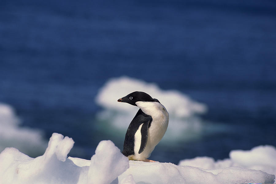 Adelie penguin , Antarctica Photograph by Comstock Images