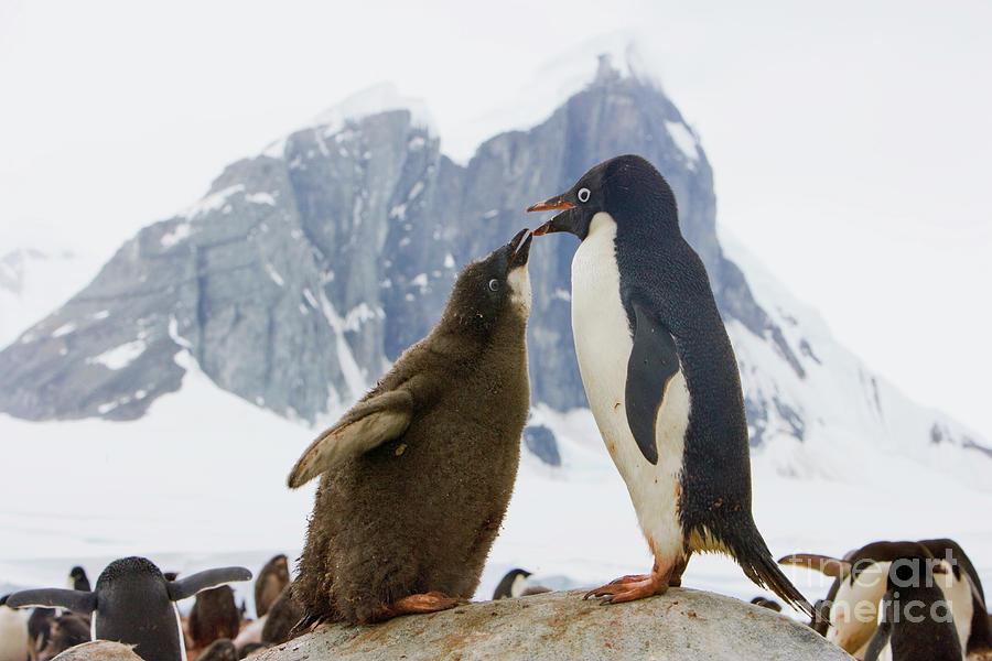 Adelie Penguin Chick Begging For Food Photograph by Yva Momatiuk John Eastcott