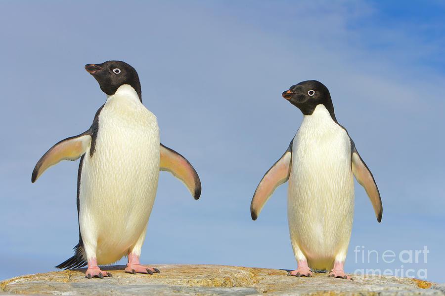 Adelie Penguin Duo Photograph by Yva Momatiuk John Eastcott