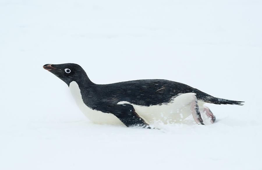 Adelie Penguin Tobogganing Antarctica Photograph by Kevin Schafer