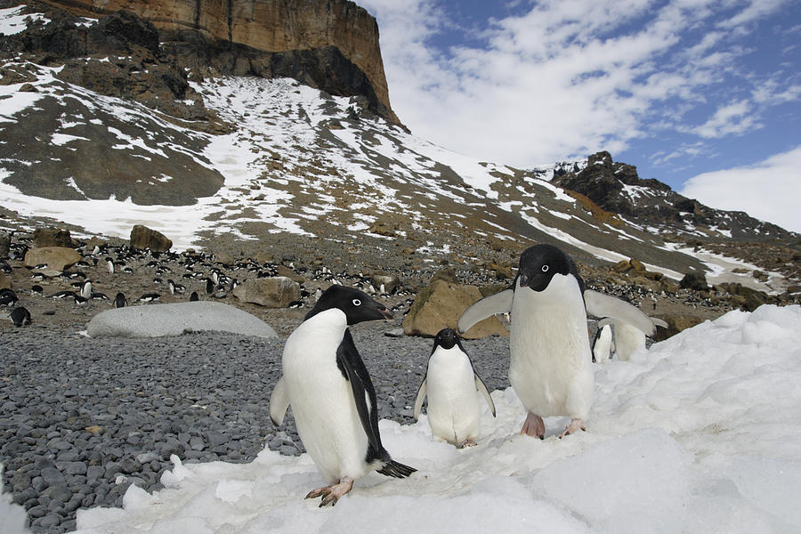 Adelie Penguin Trio Walking Antarctica Photograph by Hiroya Minakuchi