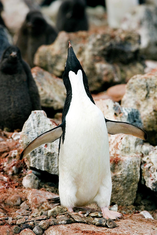 Pygoscelis Adeliae Photograph - Adelie Penguin by William Ervin/science Photo Library