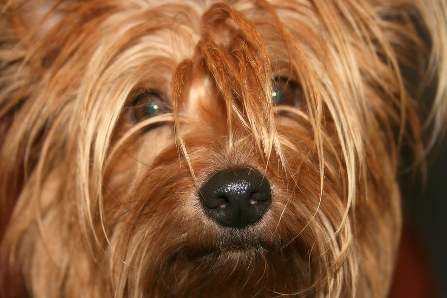 Dog Photograph - Adoring Eyes by Kathy Peltomaa Lewis