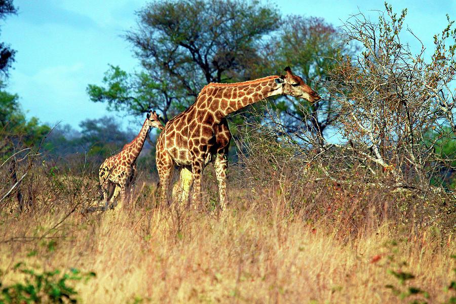 Adult Photograph - Adult And Baby Cape Giraffe, (giraffa by Miva Stock