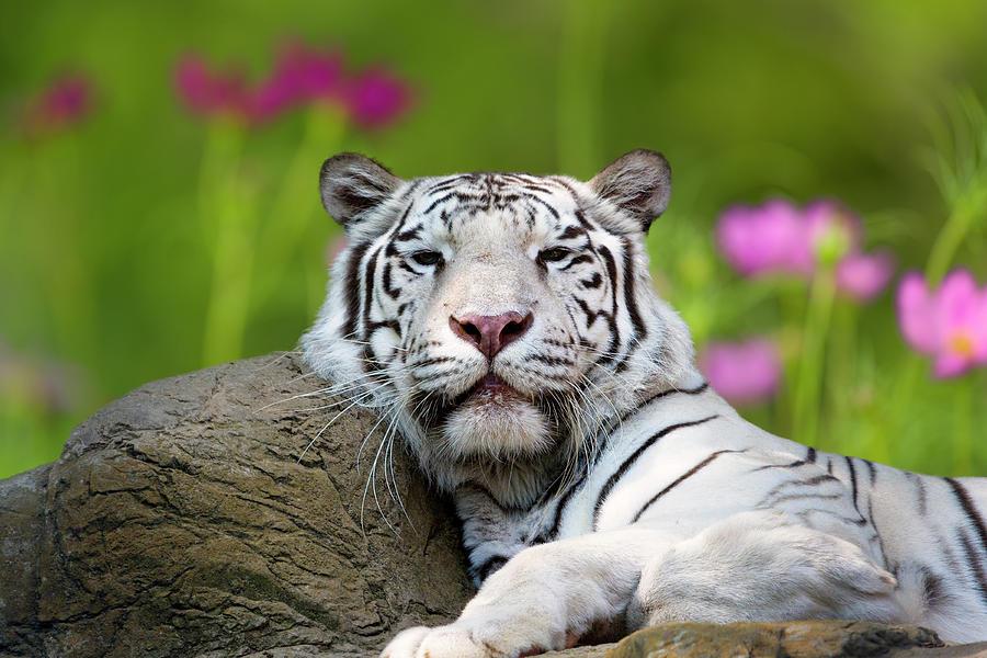 Adult White Tiger Photograph by Dean Fikar