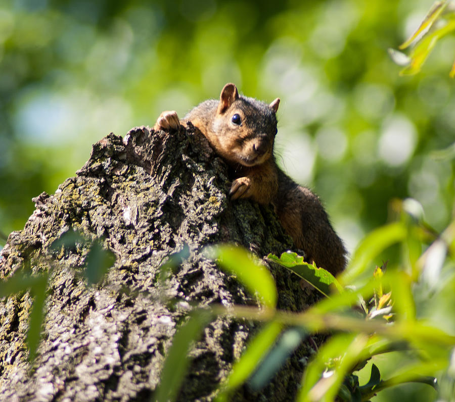 Squirrel Photograph - Advantage Point by Optical Playground By MP Ray