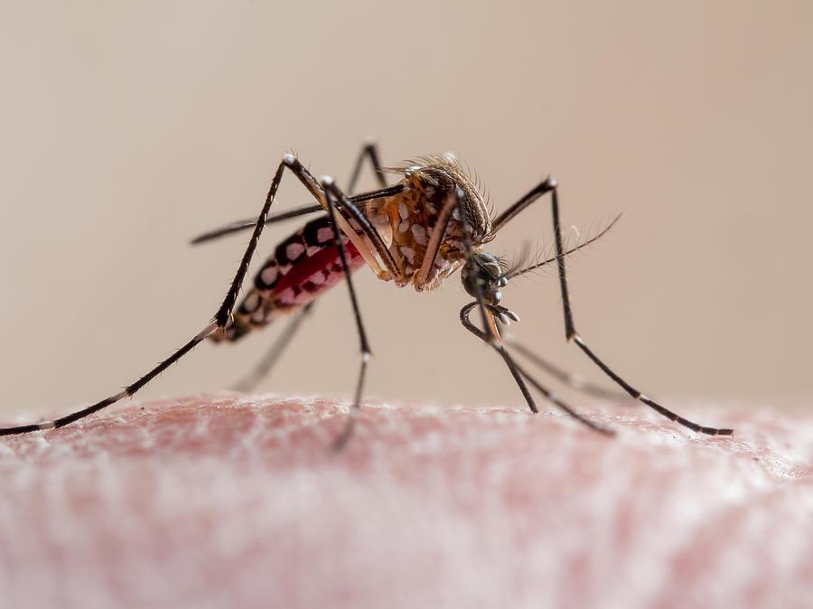 Aedes aegypti mosquito (mosquito da dengue) Photograph by Joao Paulo Burini