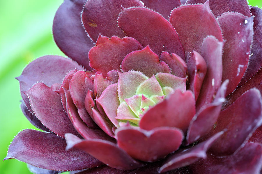Aeonium Photograph by Aimintang