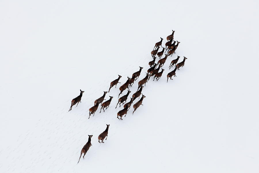 Aerial Photo Of A Herd Of Deer Running Photograph by Dariuszpa