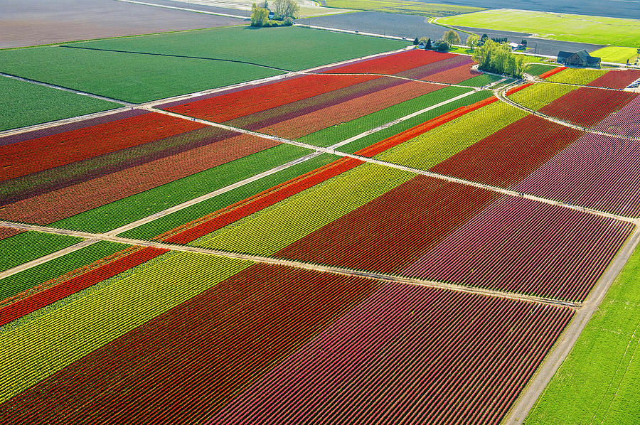 Aerial View Of Colorful Tulip Fields Photograph by Pete Saloutos