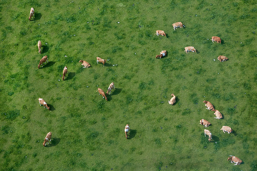 Aerial View Of Cows Grazing Photograph by Allan Baxter