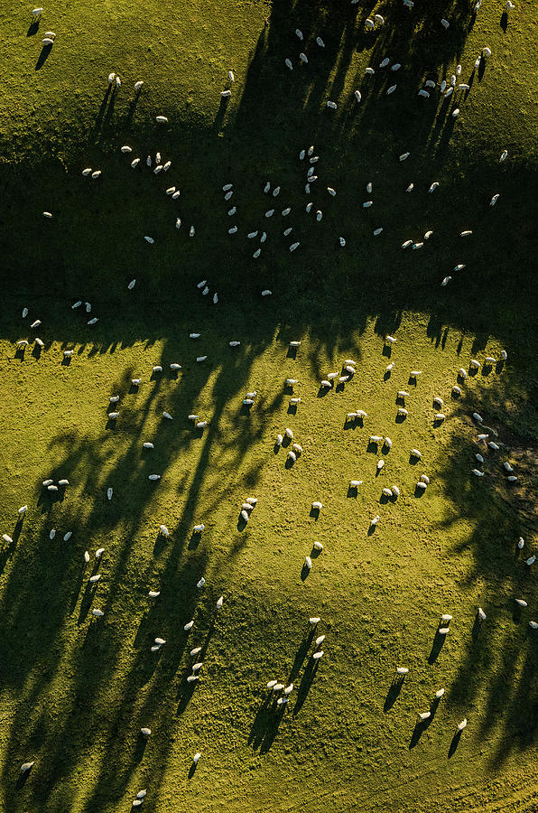 Aerial View Of Sheep Grazing Photograph by Jason Hosking