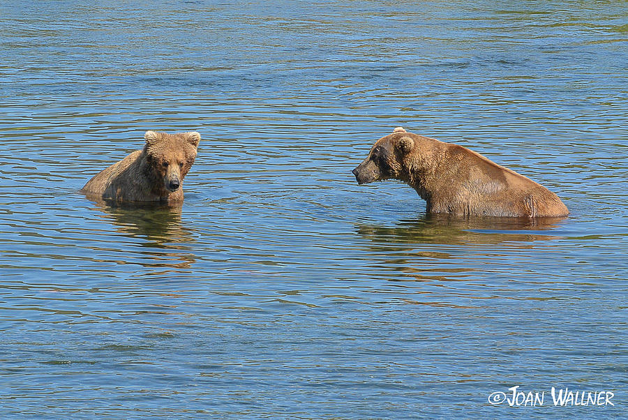 Alaska Photograph - Affectionate Stare by Joan Wallner