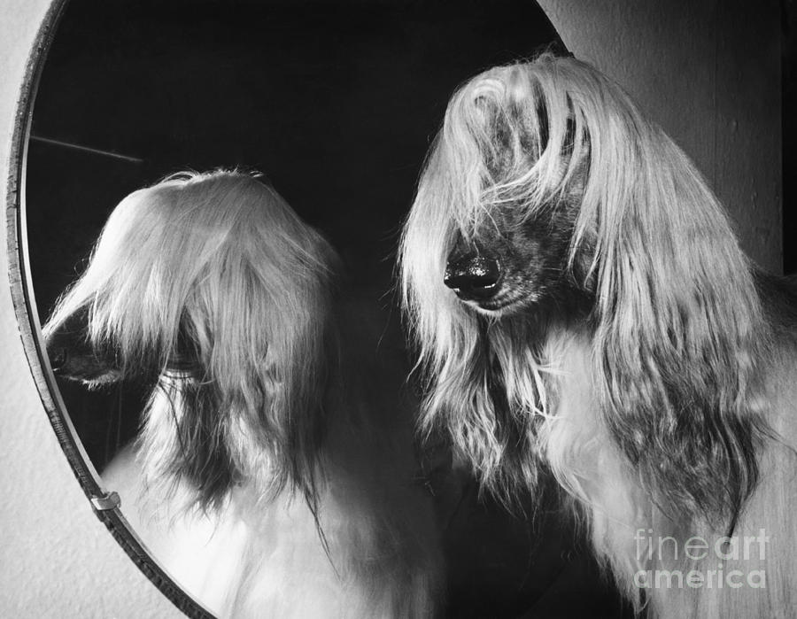 Afghan Hound Photograph - Afghan Hound by ME Browning