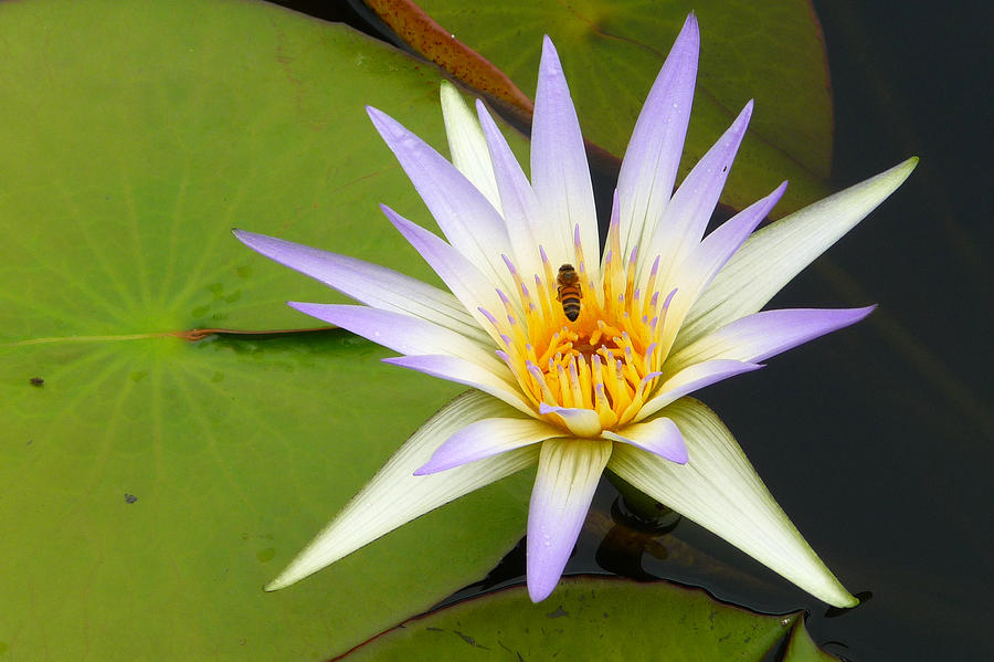 African blue lotus photograph by dan myers lotus photograph african blue lotus by dan myers mightylinksfo