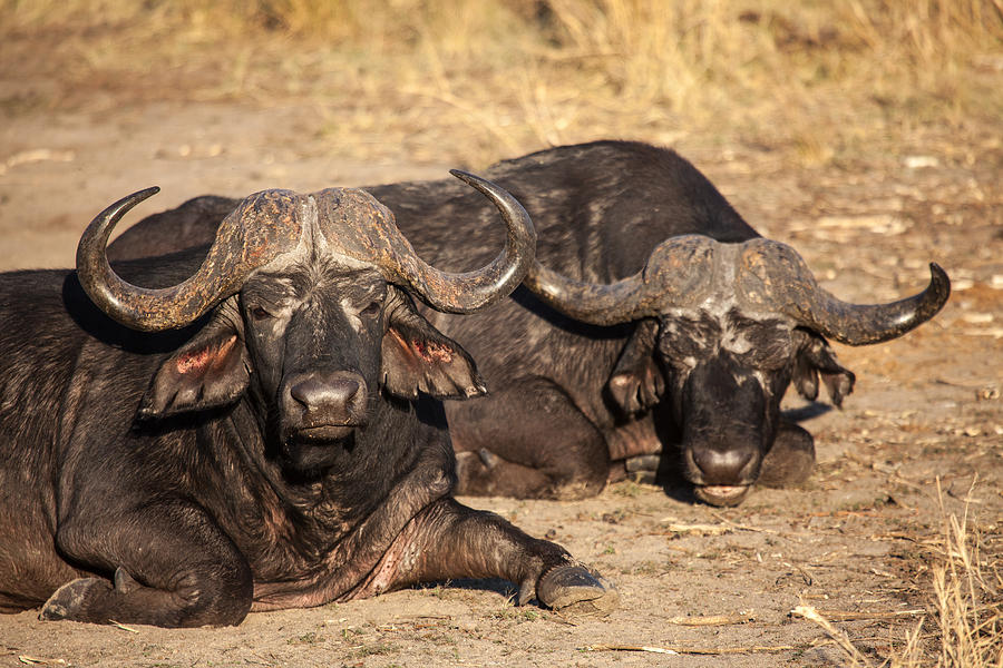 Africa Photograph - African Buffalo by Craig Brown
