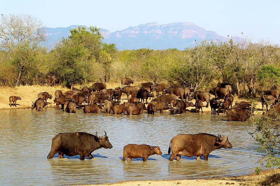Horned Photograph - African Buffaloes Drinking by Heinrich Van Den Berg