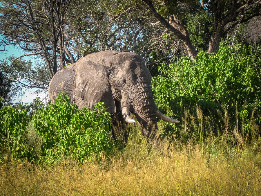 African Bush Elephant Photograph by Gregory Daley  MPSA