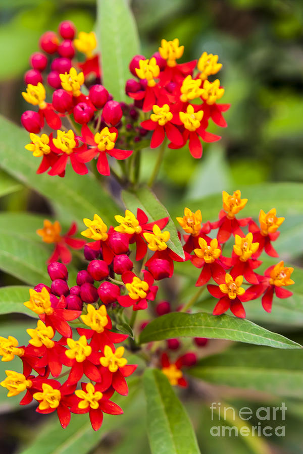 African Butterfly Weed Photograph By Scotts Scapes
