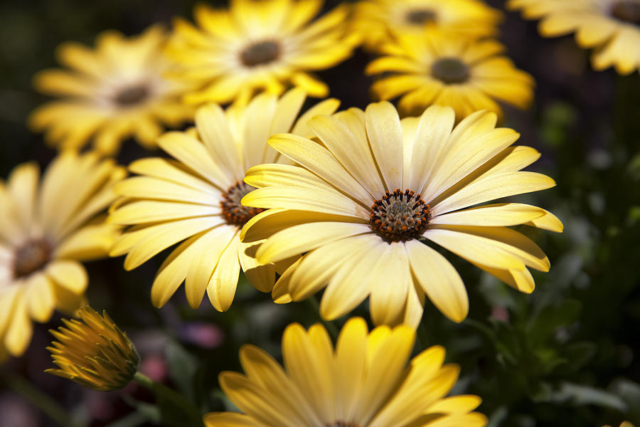 Osteospermum Photograph - African Daisies by Caitlyn  Grasso