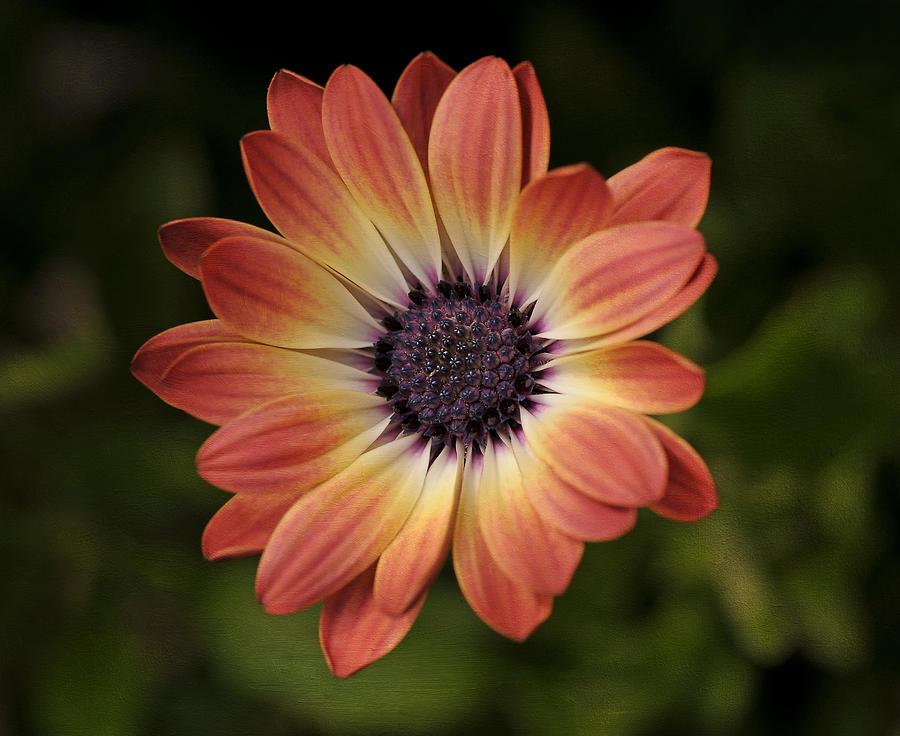 African Daisy Photograph - African Daisy - Bicolor Osteospermum by Liz Mackney