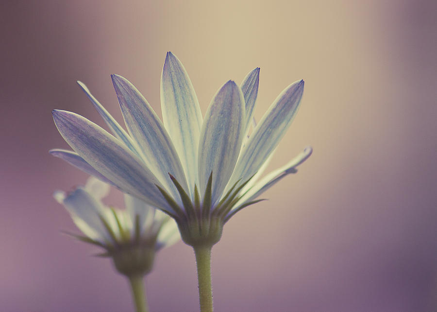Nature Photograph - African Daisy II by Rani Meenagh