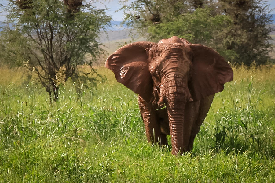 African Desert Elephant Photograph by Gregory Daley  MPSA
