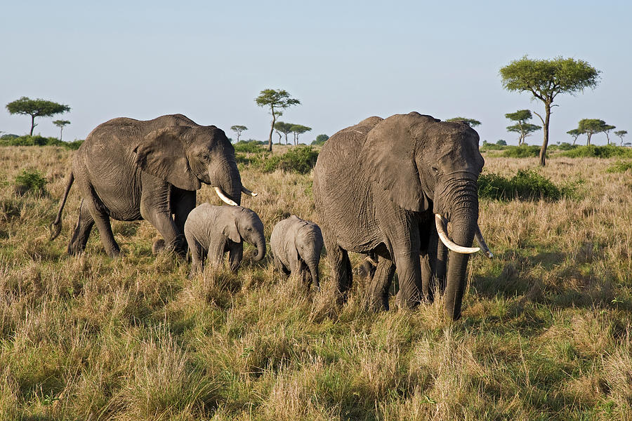 African Elephant Adults with Calves Photograph by Ingo Arndt