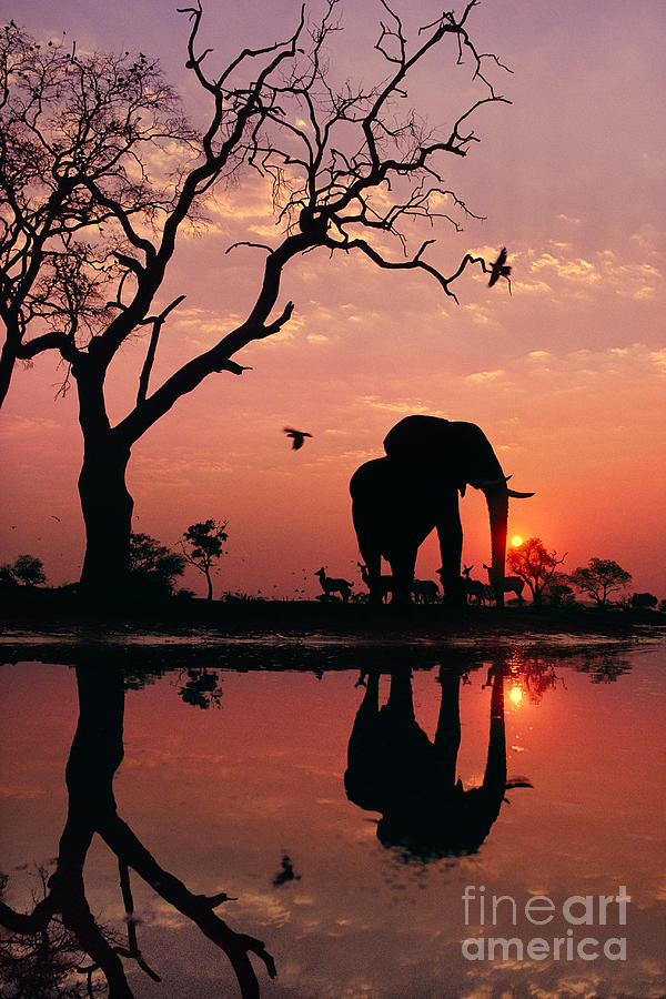 One Animal Photograph - African Elephant At Dawn by Frans Lanting MINT Images
