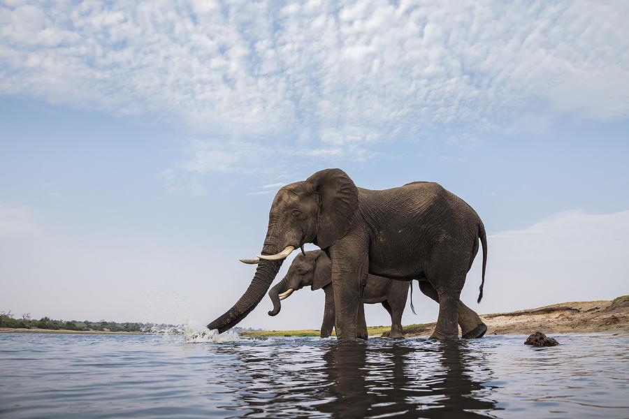 African Elephant Bulls Drinking Botswana Photograph by Vincent Grafhorst