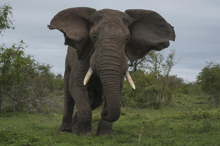African Elephant Charging Sabi-sands Photograph by Sergey Gorshkov