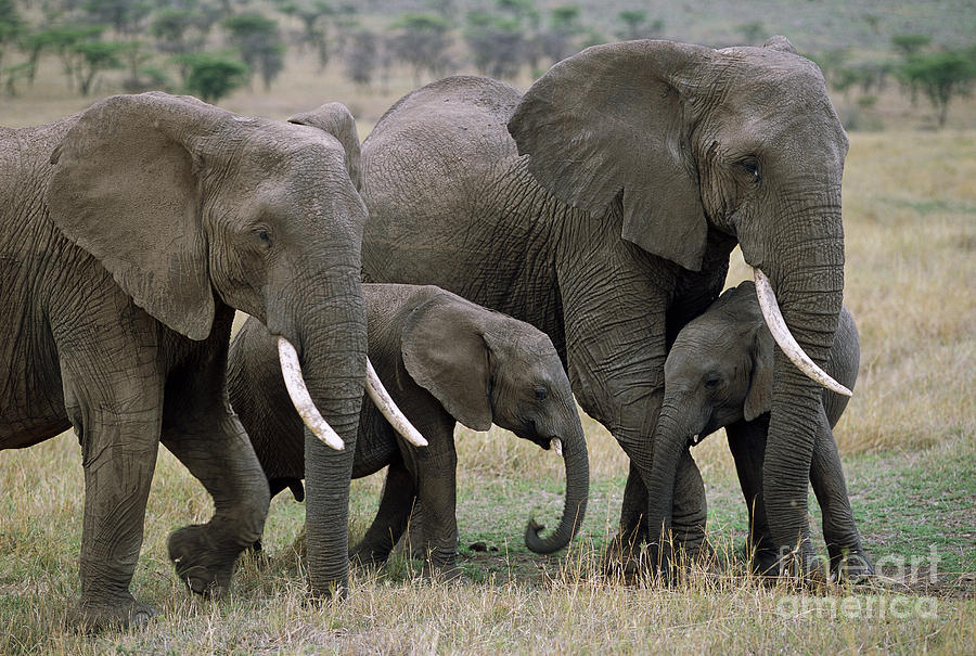Mp Photograph - African Elephant Females And Calves by Yva Momatiuk and John Eastcott