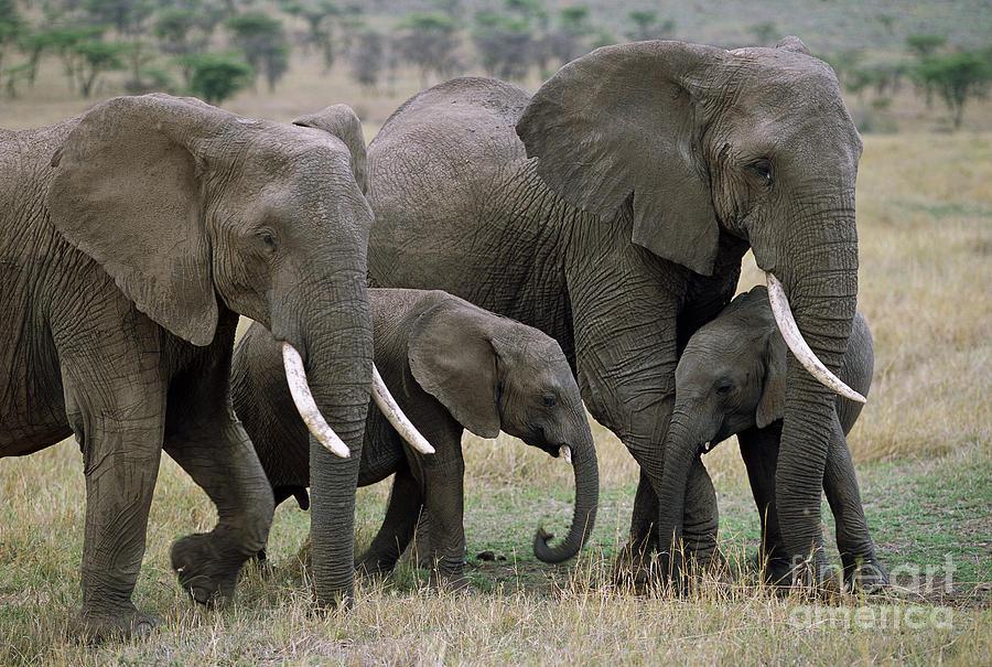 African Elephant Females And Calves Photograph by Yva Momatiuk and John Eastcott