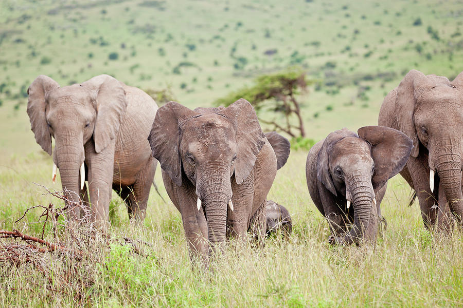 African Elephant Herd In Green Photograph by 1001slide