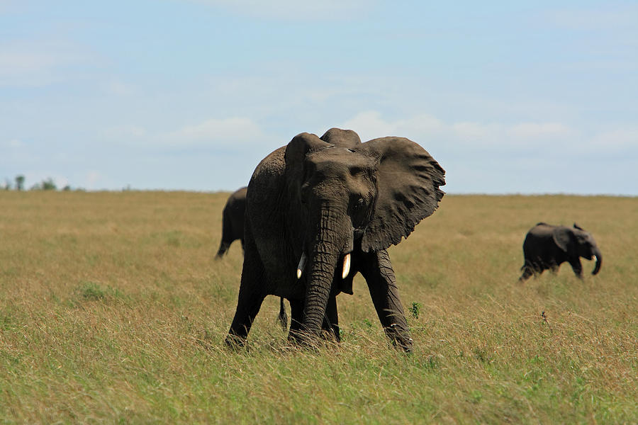Elephant Photograph - African Elephant Masai Mara Kenya by Aidan Moran
