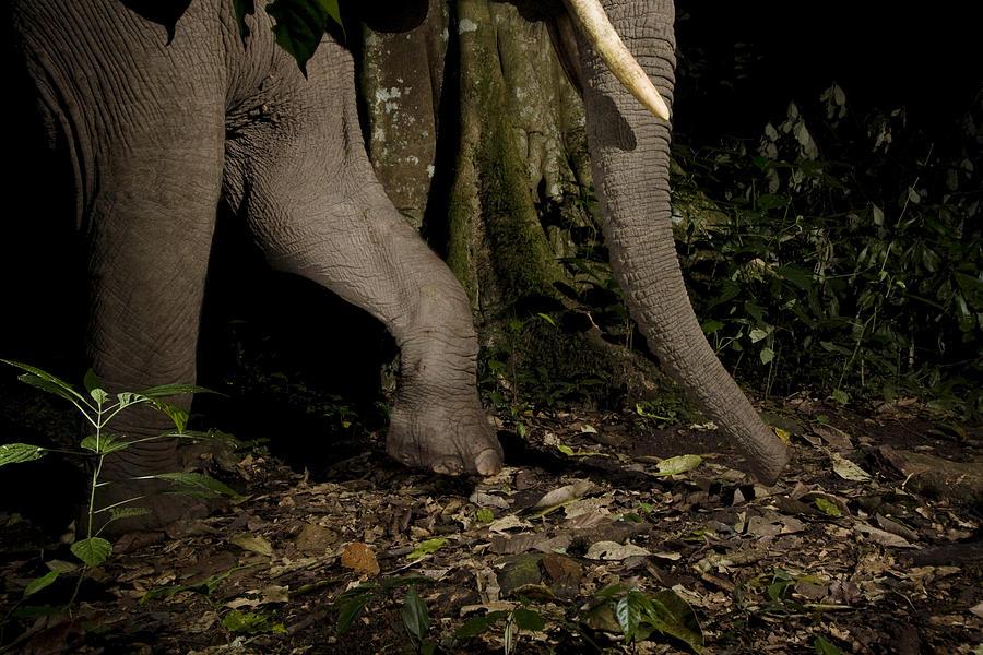 African Elephant Night Walk Kibale Np Photograph by Sebastian Kennerknecht