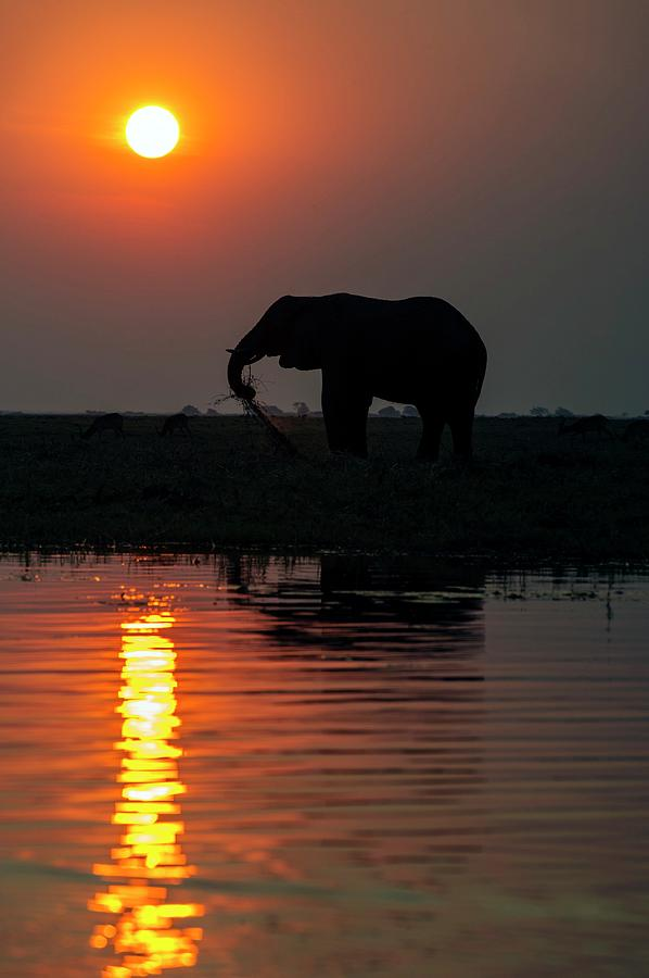 Africa Photograph - African Elephant On The Chobe River by Peter Chadwick