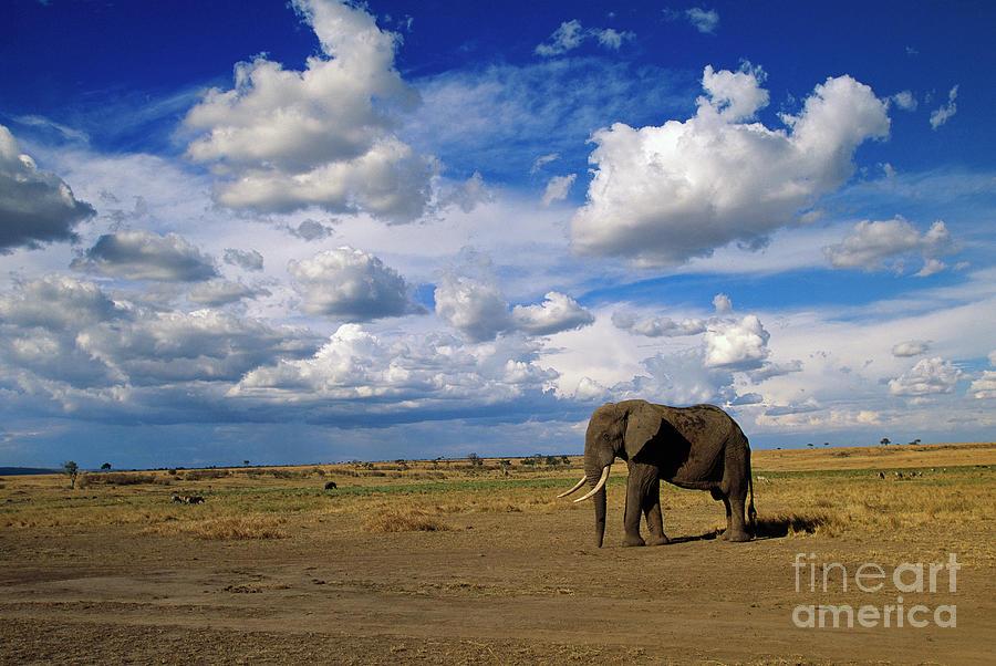 Mp Photograph - African Elephant Walking Masai Mara by Yva Momatiuk John Eastcott